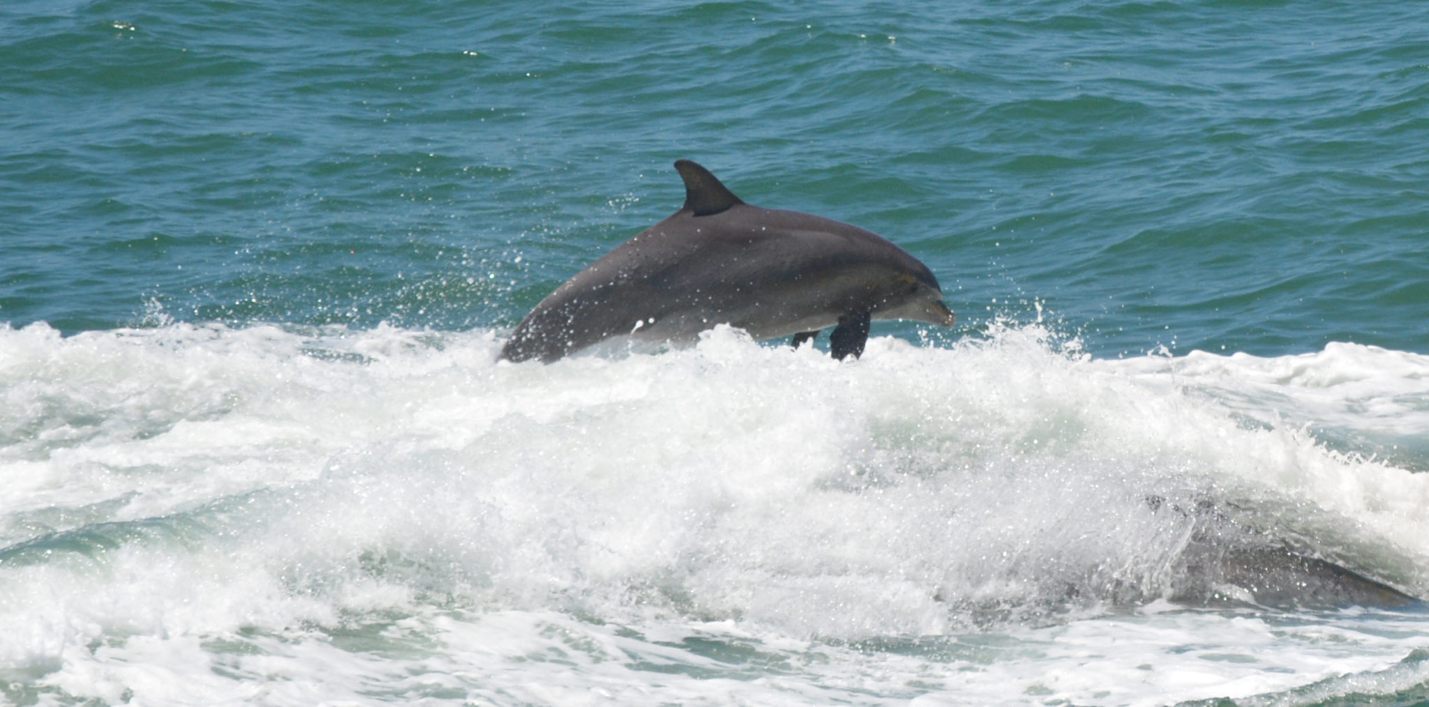 Clearwater Beach Dolphin 20130503